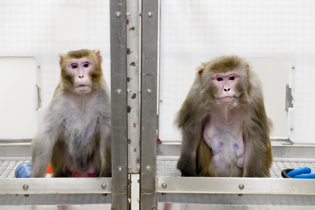 Rhesus monkeys, left to right, Canto, 27, on a restricted diet, and Owen, 29, a control subject on an unrestricted diet, are pictured at the Wisconsin National Primate Research Center at the University of Wisconsin-Madison on May 28, 2009. Photo: Jeff Miller Date: May 2009