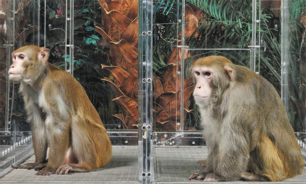 Calorie restriction in rhesus monkeys NIA