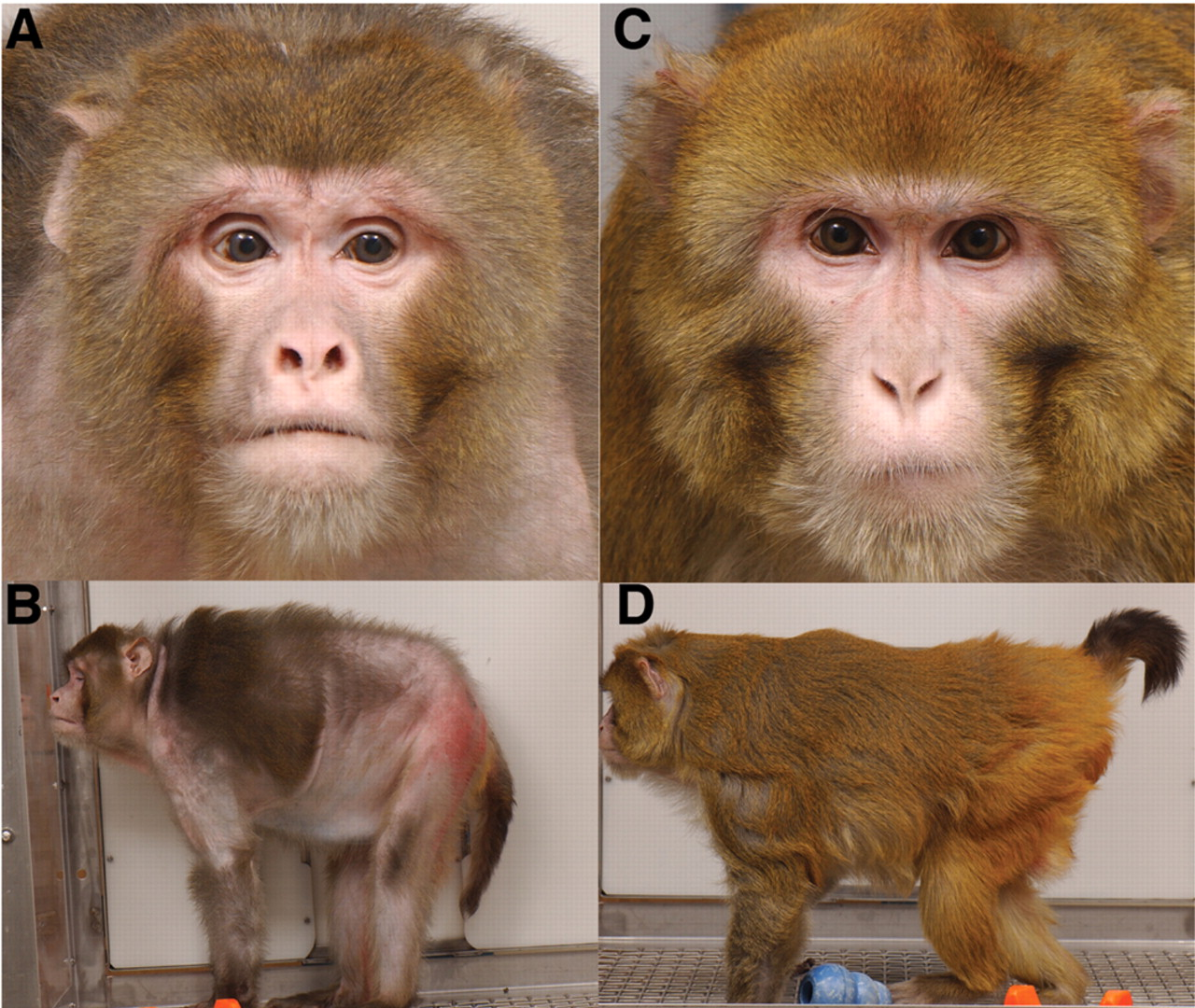 A/B is the monkey eating a standard diet. C/D is the monkey that has been put on calorie restriction. As you can tell, the monkey on calorie restriction looks much younger and is also expected to live longer