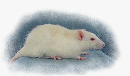 344 rat