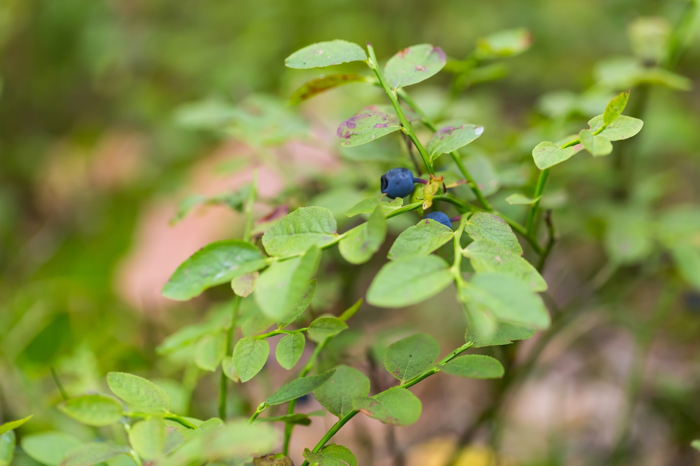 dose of bilberry for health benefits